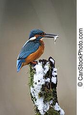 Kingfisher, Alcedo atthis, Single bird on frosty perch,...