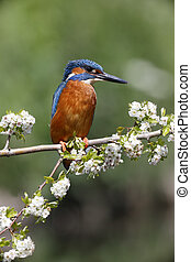 Kingfisher, Alcedo atthis, single male on branch,...