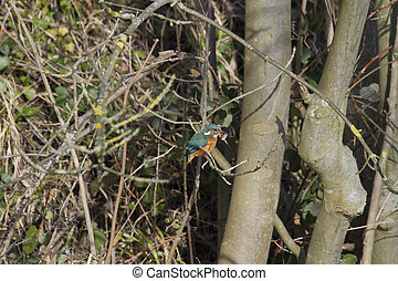 Kingfisher (Alcedo atthis) perched on a branch feeding