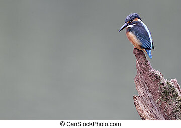 Kingfisher, Alcedo atthis, single bird on branch,...