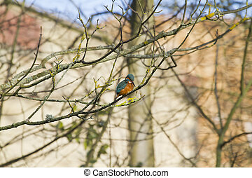 Kingfisher (Alcedo atthis) perched on a branch