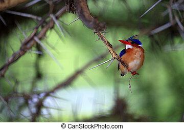 Kingfisher - Alcedo atthis - Portrait of female Common...