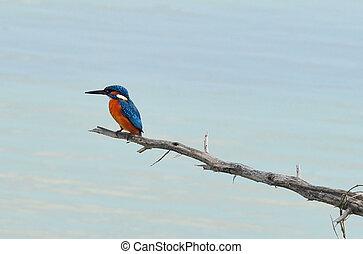 kingfisher, fotografier, naturliv, -