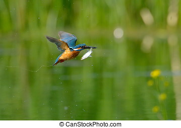 kingfisher in flight (alcedo atthis) - kingfisher in flight...