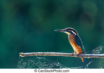 Kingfisher or Alcedo atthis perches on branch - Close-up...