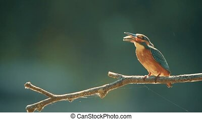 Kingfisher or Alcedo atthis perches with prey