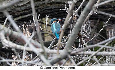 kingfisher Ukraine 2018