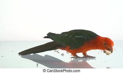 kingparrot eating peanut on glass table