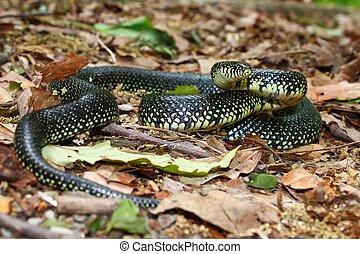kingsnake-lampropeltis, getula, negro