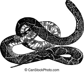 Kingsnake or Lampropeltis getula vintage engraving - ...