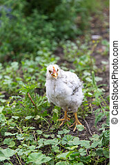 kip landgoed, op, zomer