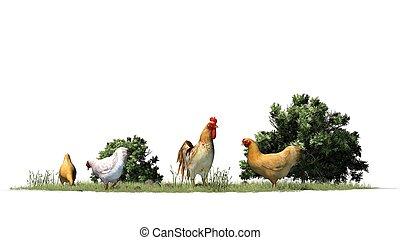 kippen, en, haan