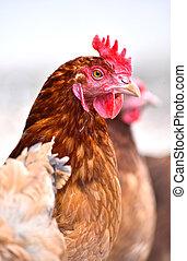 kippen, op, traditionele , vrije reeks, gevogelte, boerderij