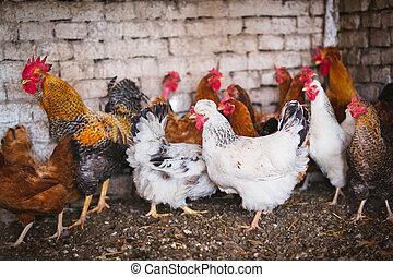 kippen, op, traditionele , vrije reeks