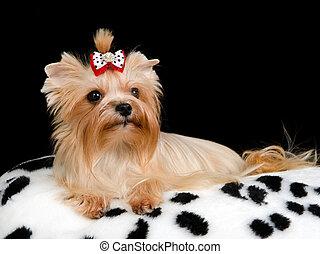 királyi, kutya, kipárnáz
