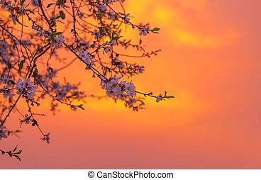 kirsch blüte, aus, orange, sonnenuntergang