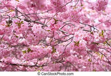 kirsch blüte