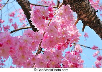 kirschblüten, während, fruehjahr