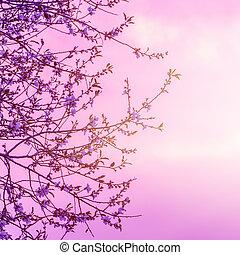 kirschen, blühen, aus, sonnenuntergang