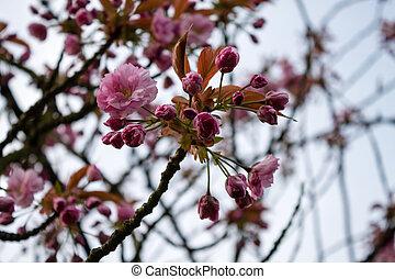 kirschen, Blüten