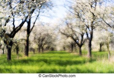 kirschen, obstgarten, in, spring., fokus
