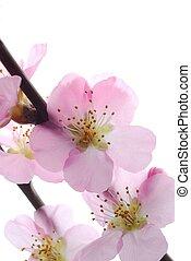 kirsebær, blomster