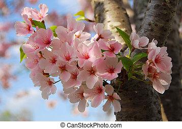 kirsebær blomstr, blomst, træ