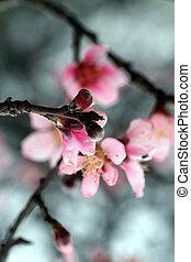 kirsebær blomstre træ, blooming