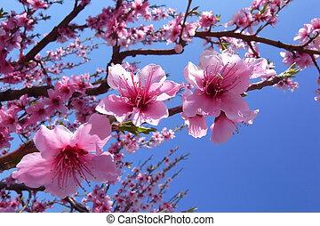 kirsebær blomstrer