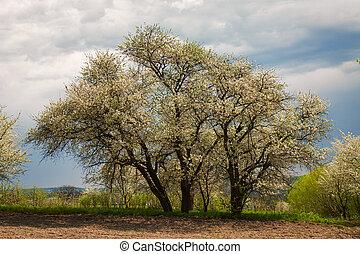 kirsebær træ