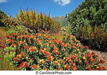 Kirstenbosch botanical gardens - Colorful flowers in the...