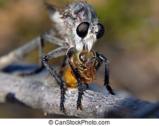 Kiss of Death - An Arizona Robber Fly giving the kiss of...