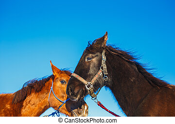 Kiss of two Arab horses of black and red color against the blue sky