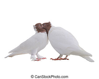 Kiss of two white doves isolated