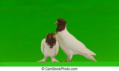 Kiss of two white doves on a green screen