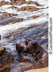 Kissing California sea lion Zalophus californianus kiss on...