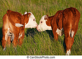 Two baby calves touch noses and lick each other affectionately. Shot in early evening light (golden hour).