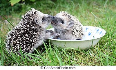 Kissing hedgehog's - Two hedgehog's kissing eath other