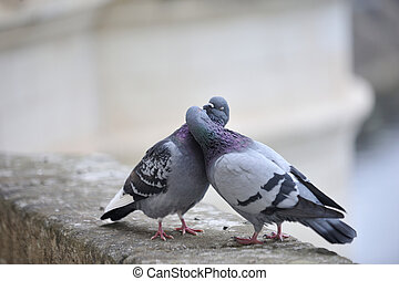 Two pigeons kiss