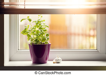 kitchen garden - basil in pot on window sill
