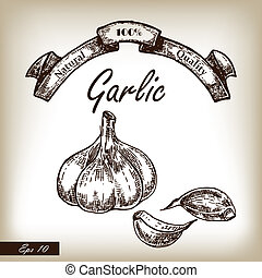Kitchen herbs and spices. Garlic hand drawn illustration in sket