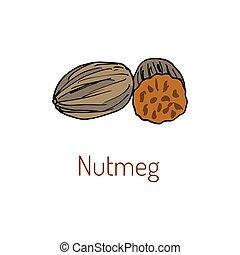 Kitchen spices. Nutmeg Hand drawn
