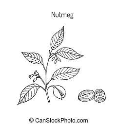Kitchen spices. Nutmeg