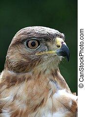 Kite Bird Portrait