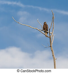 Kite sitting on a branch