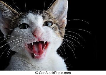Kiten - Domestic kitten meowing on black background