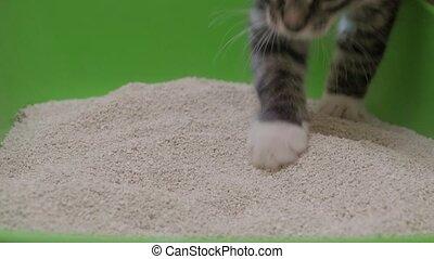 Small gray kitten examine green plastic cat litter box with clay litter on floor
