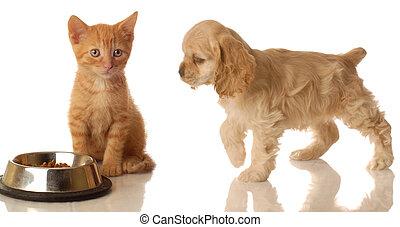 kitten and puppy eating - american cocker spaniel walking...