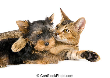Kitten and the puppy of the spitz-dog - Kitten and the puppy