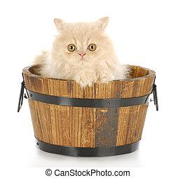 kitten bath time - cream persian kitten sitting in wood wash...